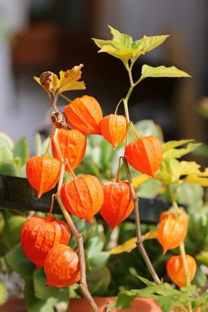 flores chinas: Las plantas de la linterna china Physalis alkekengi durante el otoño en Europa