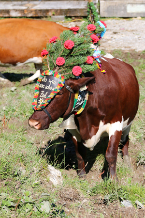 time drive: Austrian cow wearing a decorative headdress during a cattle drive Almabtrieb Festival in Tyrol, Austria. Texts on a headdress Das war eine schoene Zeit is Tyrolian word for this was a beautiful time