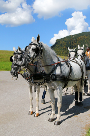 lipizzan horse: A rider and well decorated Lipizzan Horses with harness Lipizzaner standing on the path with mountain background in Tyrol, Austria on September 17, 2014