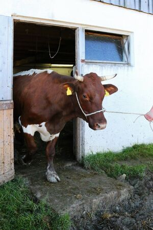 underside: A chestnut-brown cow called the Pinzgauer walking out from a barn in Austria. Pinzgauer cows have brown sides and white back and underside.