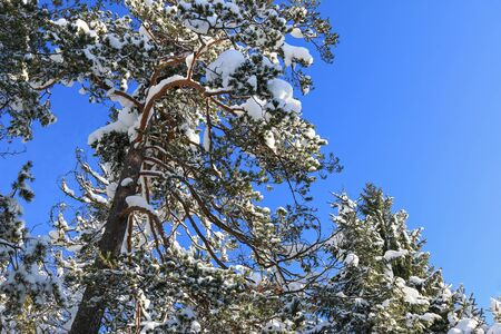 branched: Branched of Pine trees covered in snow during winter in the forest in Austria.