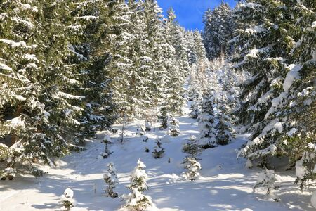 branched: Branched of Pine trees covered in snow during winter in the forest in Austria Stock Photo