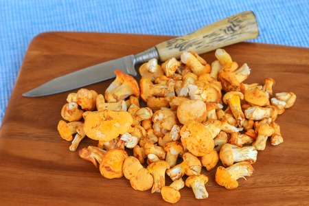 golden chanterelle: Freshly picked Golden Chanterelle Yellow mushrooms with a knife on wooden cutting board