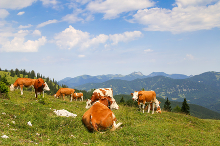 alp: Austrian cows with bell relaxing on Alpine meadow on a mountain in Tirol, Austria - Europe