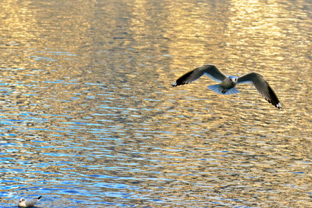 black headed: A black headed seagull flying above the lake at Hallstatt, Austria in the afternoon