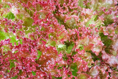 home grown: Closeup photo of wet Home grown Red curly Lettuce Salad leaves in the garden