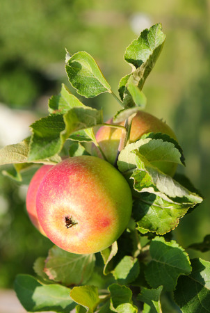 europe closeup: Closeup of Alkmene apple tree Early Windsor with fruit in Austria, Europe. It ripens around September - November Stock Photo