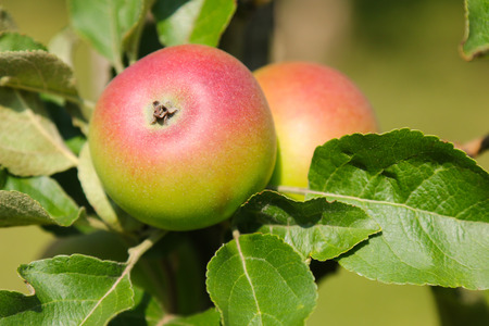 organic farm: Closeup of Crown Prince Rudolf Kronprinz Rudolf apple tree with fruit in Austria, Europe. It is the oldest Styrian variety
