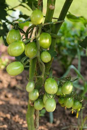 europe closeup: Closeup of unripen Plum tomatoes on its vine in Europe Stock Photo