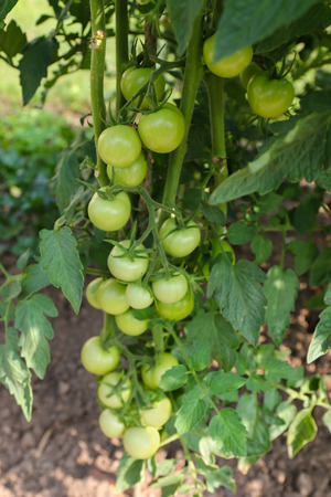 europe closeup: Closeup of unripen Cherry tomatoes on its vine in Europe
