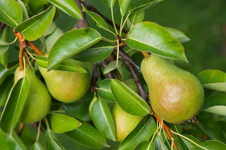 pera: De cerca de un árbol de pera con su fruta durante la temporada de verano en Carintia, Austria