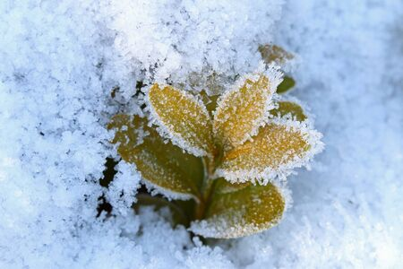 snow ground: Closeup of small white ice crystals forming on green leaves surrounded by snow ground