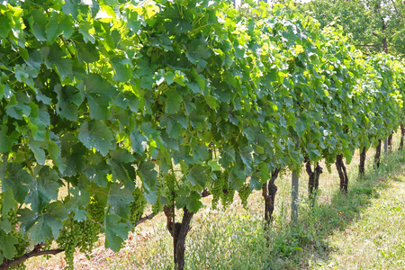 tannin: Blue Frankish Blaufraenkisch grown at a Vineyard in Burgenland, Austria. Its a variety of grape used for red wine which is rich in tannin and has spicy character
