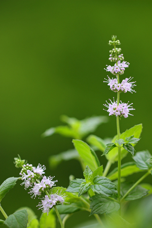 Closeup photo of flower of spearmint plant Mentha spicata in the garden