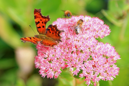 comma: Closeup of the Comma Polygonia c-album butterfly and bees enjoying the The star-shaped pink flowers - Fette Henne Sedum spectabile Stock Photo