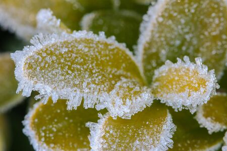 crystallization: Closeup of small white ice crystals forming on green leaves in the morning