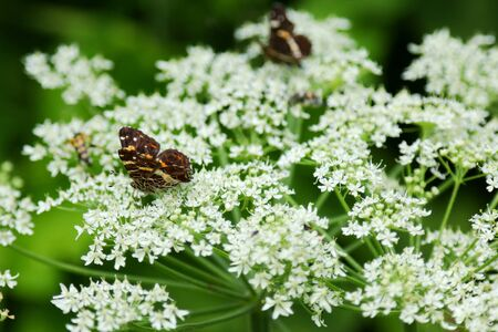european map: The European Map butterfly Araschnia levana and other bugs on Cow Parsley flowers Anthriscus sylvestris Stock Photo