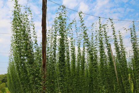 lupulus: Hop plants Humulus lupulus growing and climbing on strings at hop field in Austria, Europe