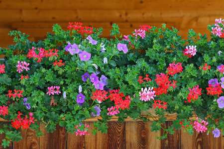 Wooden house decorated with colorful flowers, Petunia, Geraniums, etc on the balcony in Tyrol, Austria