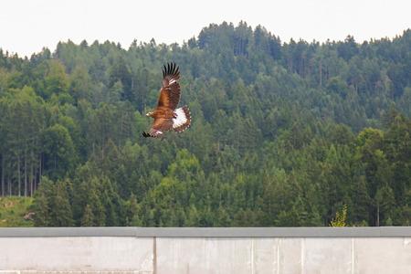 aigle royal: Oiseau de proie en vol, les chrysaetos Golden eagle Aquila volent autour en Autriche, Europe