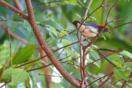subspecies: The male Scarlet-backed Flowerpecker Dicaeum cruentatum perching on a branch during the summer in Thailand, Asia Stock Photo