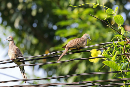 birds in tree: Two Zebra Doves perching on power lines next to the yellow dipladenia flower Stock Photo