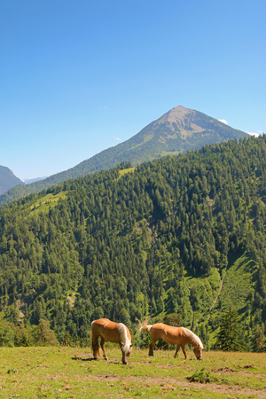 nibbling: Two Haflinger, known as the Avelignese horse, nibbling grass on the mountain in Austria