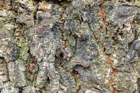 greenish: Closeup background photo of texture of old mango tree bark with greenish color