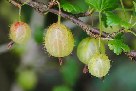 home grown: Closeup of home grown European gooseberry Ribes uva-crispa on its branch in the garden Stock Photo