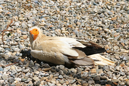 scavenger: The Egyptian vulture Neophron percnopterus also known as white scavenger vulture, pharaohs chicken sitting on pebbles