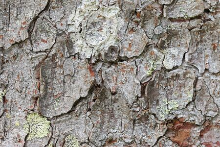 bark background: Closeup background photo of texture of old tree bark with lichen Stock Photo
