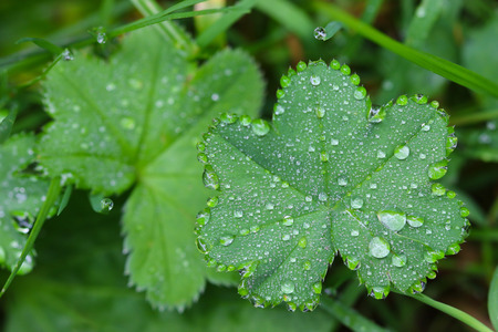 lady's: Closeup photo of drops of water on Ladys mantles leaves Alchemilla