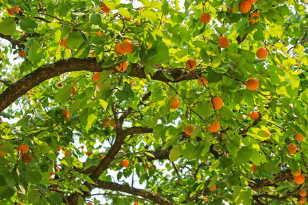 An Apricot tree bearings many fruit during summer season in Carinthia, Austria