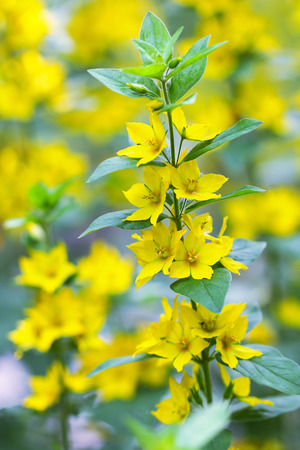 vulgaris: Closeup of  Yellow Loosestrife flower Lysimachia vulgaris