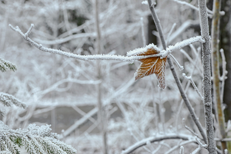 hoarfrost: Autumn brown leaf on tree branch covered with hoarfrost rime ice during winter