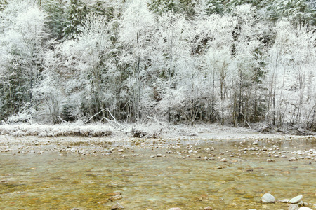 hoarfrost: Pine trees covered with hoarfrost rime ice along the stream, beautiful winter scene