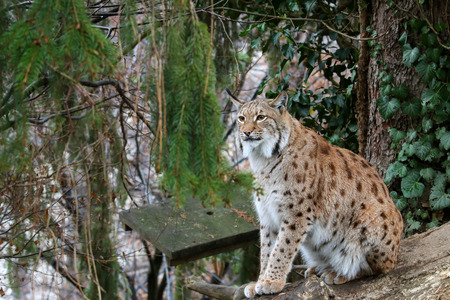 wild cat: A big Eurasian Lynx ( wild cat with spots ) sitting on a wood log during winter in Europe