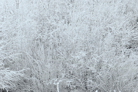 hoarfrost: Hoarfrost forming on pine trees and other trees, turning the forest into white color