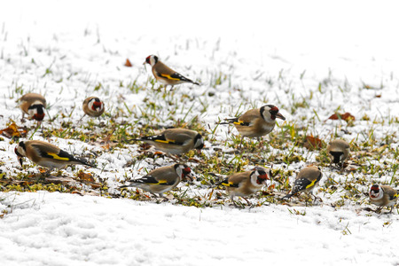goldfinch: A group of European goldfinch (Carduelis carduelis) eating sunflower seeds on the ground during winter in Europe