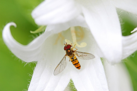 bellflower: A Hover fly nectaring at White Pouffe Milky Bellflower Campanula Latifolia, Alba