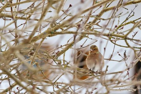 perching: Cute female Common Chaffinch (Fringilla coelebs) perching on a tree in Europe