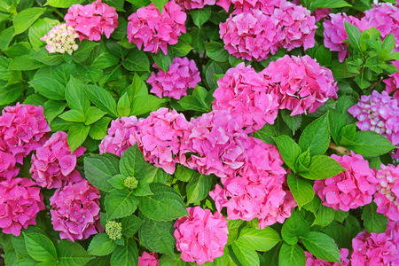 hydrangea macrophylla: Pink Hydrangea macrophylla, hortensia, blossoming in the garden during summer time in Europe
