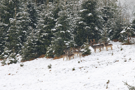 herd of deer: Soft focus of a herd of young doe, female and male deer standing in the forest during a snowfall in Austria, Europe Stock Photo