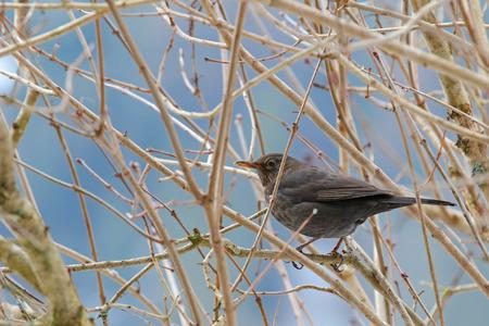 birds on branch: Female Eurasian Blackbird, Common Blackbird with yellow eye ring and bill (Turdus merula) perching on a tree in Europe