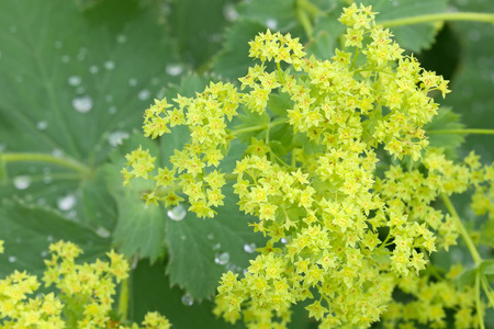 alchemilla mollis: Closeup of Common Lady s Mantle flowers  Alchemilla mollis with morning dews on leaves Stock Photo