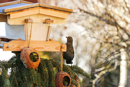 merula: Female Eurasian Blackbird, Common Blackbird (Turdus merula) perching on a tree with cautiousness Stock Photo