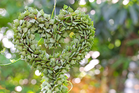 shaping: Heart-shaped succulent plant named Million Hearts (Dischidia ruscifolia) shaping into a heart shape