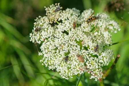 queen anne   s lace: Soft focus of many bugs, insects visiting Queen Anne s Lace white flowers during Summer
