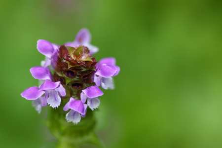 prunella: Soft focus of Self heal plant, known as Heal All and its purple flower (Prunella vulgaris) Stock Photo