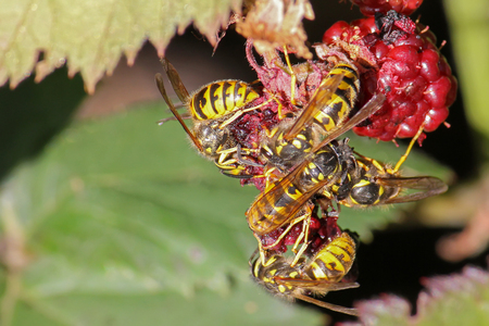 predatory insect: A group of yellow jacket wasps eating raspberry fruit during summer